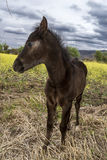 Young brown foal Royalty Free Stock Photography
