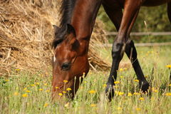 Young brown foal eating grass at the pasture Royalty Free Stock Images
