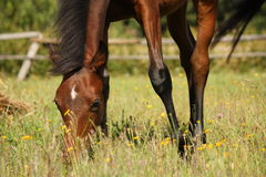 Young brown foal eating grass at the pasture Royalty Free Stock Photography