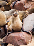 Young brown fur seal Stock Photo