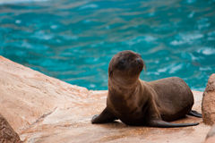 Young Brown Fur Seal on Rock. A young brown fur seal sits on a rock Stock Images