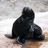 A young brown fur seal Royalty Free Stock Image