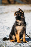 Young Brown German Shepherd Puppy Dog outdoor Royalty Free Stock Photo