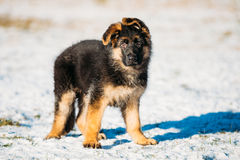 Young Brown German Shepherd Puppy Dog Outdoor At Winter Royalty Free Stock Image