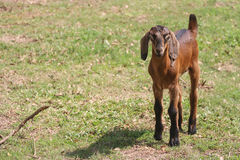 Young brown goat in grass field Royalty Free Stock Photo