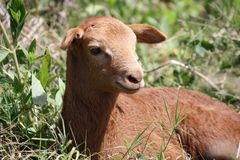 Young brown goat. By the road Stock Images