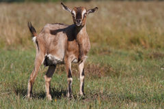 Young brown goat walking on a summer pasture Royalty Free Stock Images