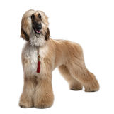 Young Brown Grommed Afghan Hound (1 years) Stock Photos