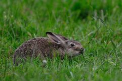 Young brown hare sitting in the meadow, spring. Lepus capensis Royalty Free Stock Image