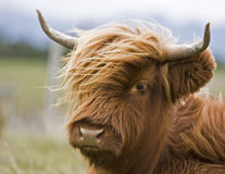 Young brown highland cattle Royalty Free Stock Photo