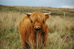 Young brown highland cow royalty free stock photo