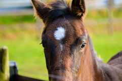 Young brown horse closeup. Young brown horse with a with patch on the head and a green grass background Stock Images