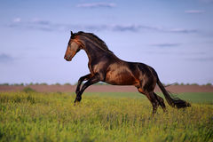 Young brown horse galloping, jumping on the field. On a neutral background Royalty Free Stock Photos