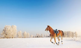 Young brown horse galloping through snowy winter field Stock Photos
