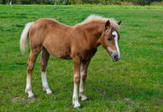 A young brown horse standing in the grass. Brown foal with a white blaze posing in a Dutch meadow Stock Photos