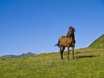 Young brown horse standing in mountan meadow Stock Image