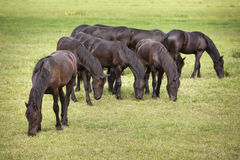 Young brown horses in dutch meadow near utrecht in holland Stock Photo