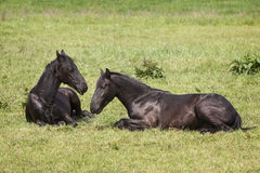 Young brown horses in dutch meadow near utrecht in holland Royalty Free Stock Photo