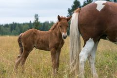 Brown Icelandic horse foal standing close to its mothers rear e. Young brown Icelandic horse foal seeking shelter behind its mothers rear end and tail royalty free stock photo