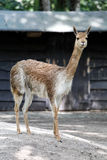 Young brown lama. Lama looking straight at the camera royalty free stock photography