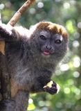 Young Brown Lemur Royalty Free Stock Images