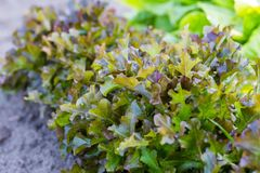Young brown lettuce growing in ecological garden Royalty Free Stock Photography