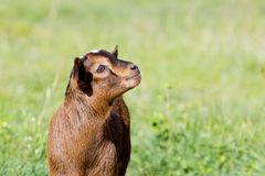 Young brown miniature goat kid in grassy field Royalty Free Stock Images