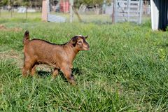 Young brown miniature goat kid Royalty Free Stock Image