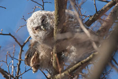 Young brown owls. Brown owl (Strix aluco) near the nest stock photos