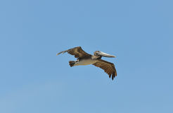 The young Brown Pelican Royalty Free Stock Photography