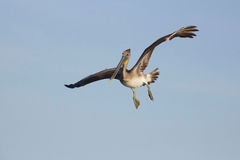 Young Brown Pelican in Flight Royalty Free Stock Image