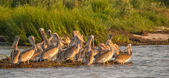 Young Brown Pelicans. A large group of Brown Pelican fledglings on the coast of the Chesapeake Bay royalty free stock image