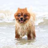 Young Brown Pomeranian. On The Beach Stock Photography