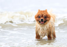 Young Brown Pomeranian. On The Beach Royalty Free Stock Photo
