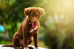Young brown puppy dog Royalty Free Stock Images
