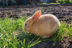 Young brown Rabbit Stock Image