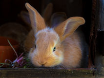 Young brown Rabbit Royalty Free Stock Image