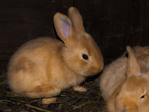 Young brown Rabbit Stock Photography