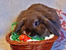 Young brown rabbit with flappy ears, sitting in easter egg nest royalty free stock photography