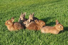 Young brown rabbits on green grass Royalty Free Stock Photos