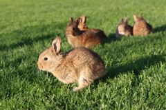 Young brown rabbits on green grass Stock Photo