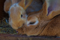 Young brown Rabit royalty free stock image