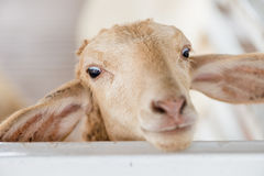 A young brown sheep and white fence. Brown sheep face close up Royalty Free Stock Images