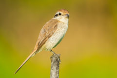 Young Brown shrike Stock Photography