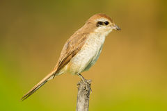 Young Brown shrike Royalty Free Stock Photos