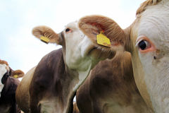 Young brown and Simmental cows Stock Photo