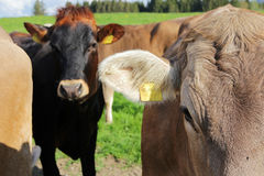 Young brown and Simmental cows Royalty Free Stock Photography