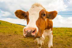 Young brown spotted cow in the mountains. Stock Photo