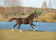 A young brown stallion gallops on a lakeshore Royalty Free Stock Image