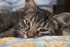 Young brown striped cat with green eyes is lying and posing to camera. Beautiful little cat looking to camera before sleeping. Sle Stock Images
